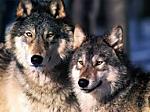Mediation im Konflikt Schafhalter und Wölfe